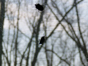 Stinkbugs on Window Screen
