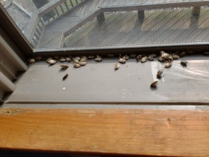 Dead stinkbug bodies killed by spraying poison.